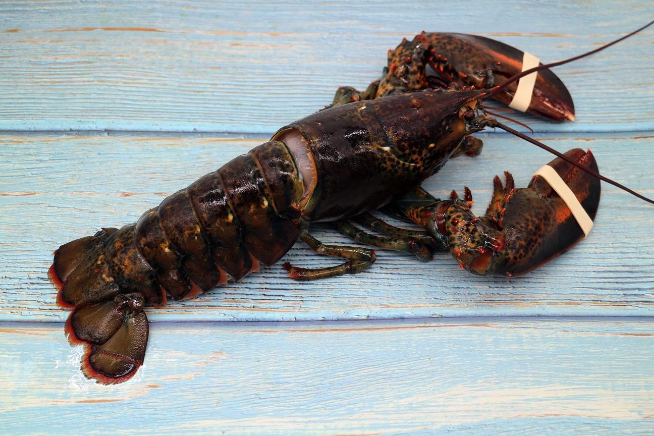 急凍波士頓龍蝦2隻 (1隻約1磅) Frozen Boston Lobster (2pcs)