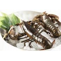 活波士頓龍蝦 Live Boston Lobster 1磅8安士 (每磅)